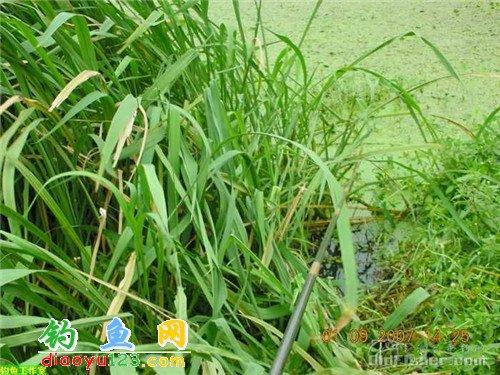 伏尔加绳子草